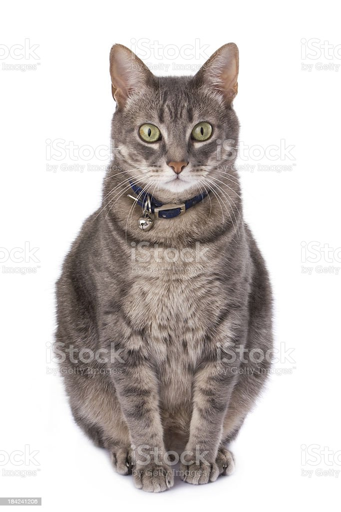 Tabby cat sitting isolated on white stock photo