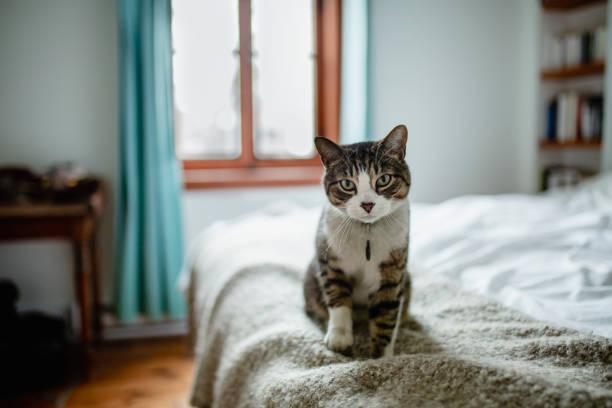 Tabby cat sitting on a bed picture id1139147451?b=1&k=6&m=1139147451&s=612x612&w=0&h=fjoxnh2zqan4f8w7 0 kmutmct2rmxfgep8 pnxllc8=