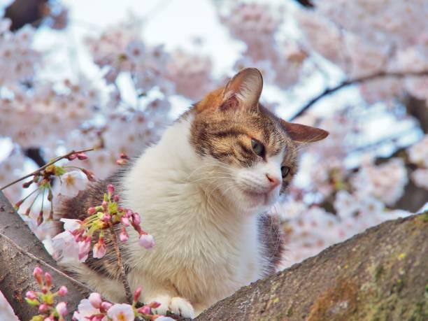 Tabby cat sitting on a sakura tree branch picture id818456562?b=1&k=6&m=818456562&s=612x612&w=0&h=ehbw32phom rws7zfxjhoqsho2wocjfmi372b thgvq=