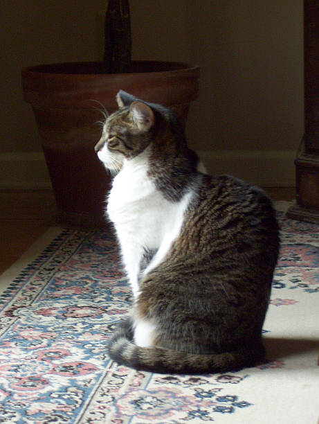 Tabby Cat, Sitting on an Oriental Rug stock photo