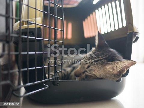 Siamese tabby cat sleep in travel box