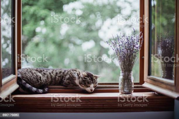 Tabby cat sleeping by an open window with a bouquet of lavender picture id690176680?b=1&k=6&m=690176680&s=612x612&h=w3aaxnjc9ule iknmmsq6m2pupv dwqfftdxm52urjy=