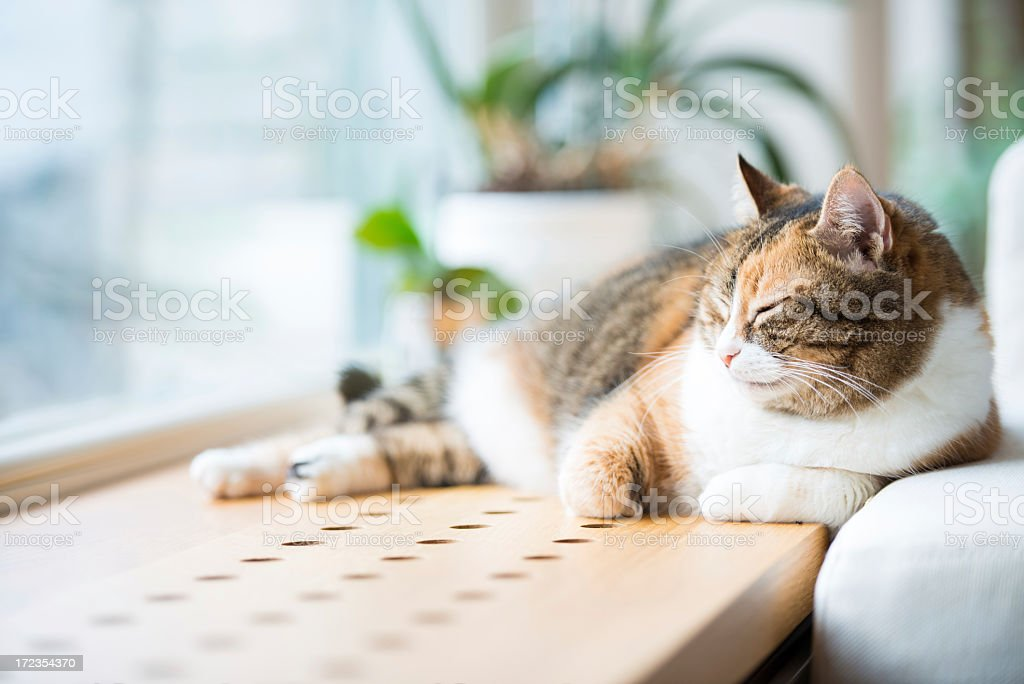 Tabby cat sleeping by the window royalty-free stock photo