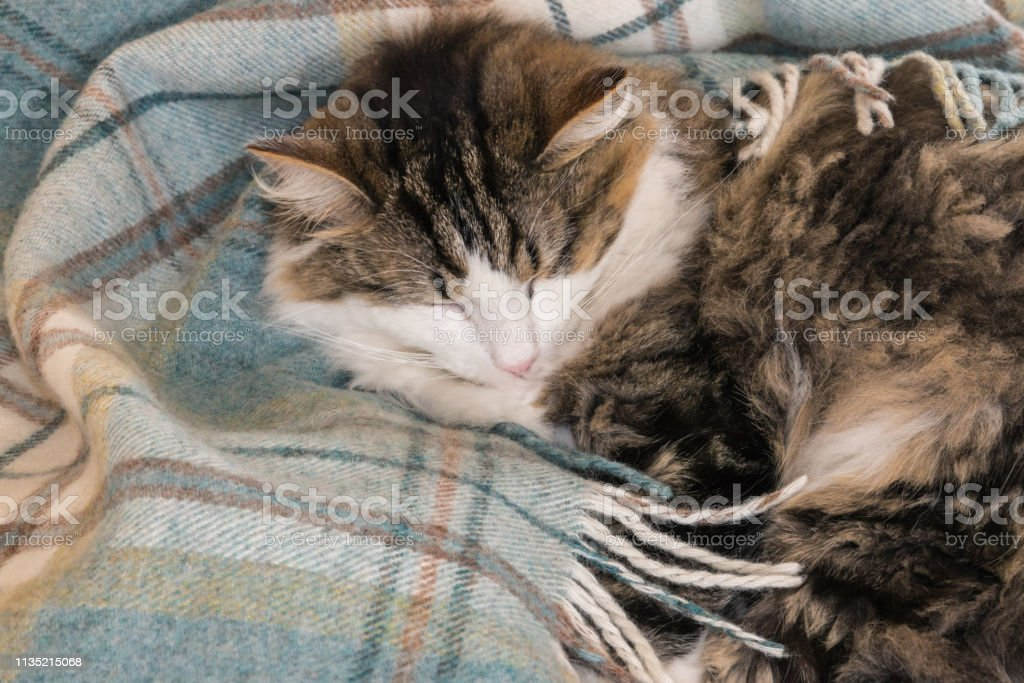 closeup of tabby cat sleeping curled-up in light blue wool blanket