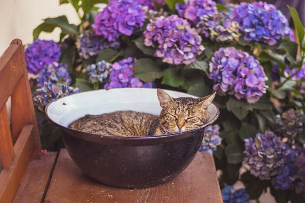 Tabby cat sleeping in a bowl stock photo