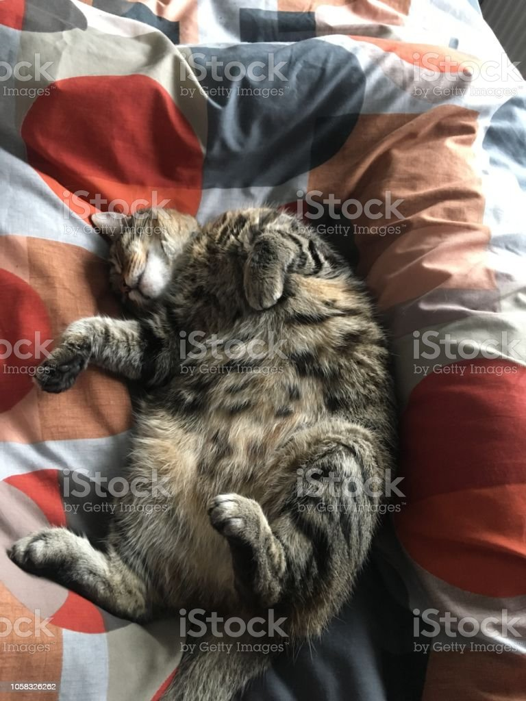 Tabby cat sleeping on a bed showing his belly stock photo