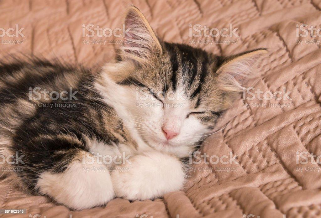 tabby cat sleeping on pale brown duvet stock photo
