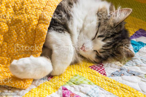 Tabby cat sleeping under yellow quilt cover picture id1054604522?b=1&k=6&m=1054604522&s=612x612&h=rgw 9gzcjk7qyg 0unhakt mvuidp2fe s75thujlt8=