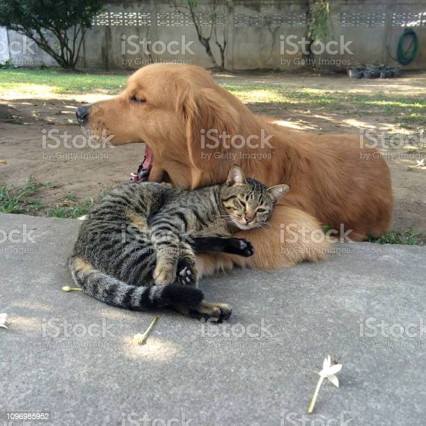 Tabby cat sleeping with yawning golden retriever dog picture id1096985952?b=1&k=6&m=1096985952&s=612x612&h=sdlu0rajahxabipuyoc2cwhxkquh7sqhrlkcfxvjaas=