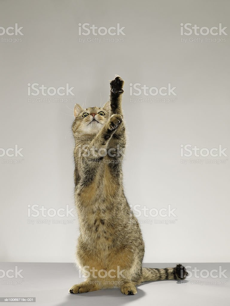 Tabby cat standing on hind legs with stretching out paw royalty free stockfoto