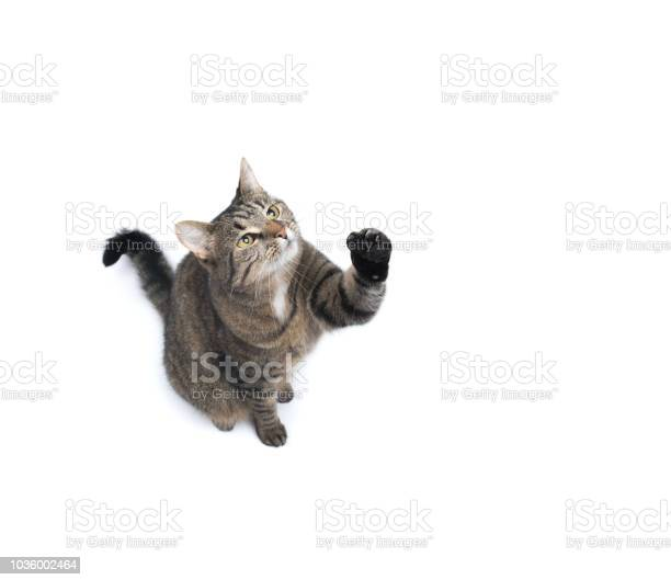 Tabby cat studio shot picture id1036002464?b=1&k=6&m=1036002464&s=612x612&h=h pjcty0n3cqxrmuz9obtkjg9l40qqdodovqsedmuro=