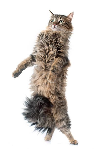 Tabby cat upright picture id470428486?b=1&k=6&m=470428486&s=612x612&w=0&h=uu4cgwtoirasuye7itxufspkj4ydk3rjmneca4qure8=