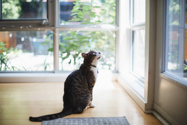 Tabby cat waiting to go out stock photo