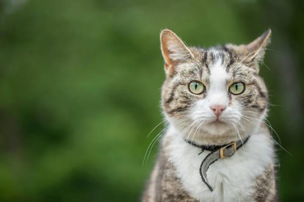 tabby katze mit kopie raum und grün hintergrund - suche katze stock-fotos und bilder