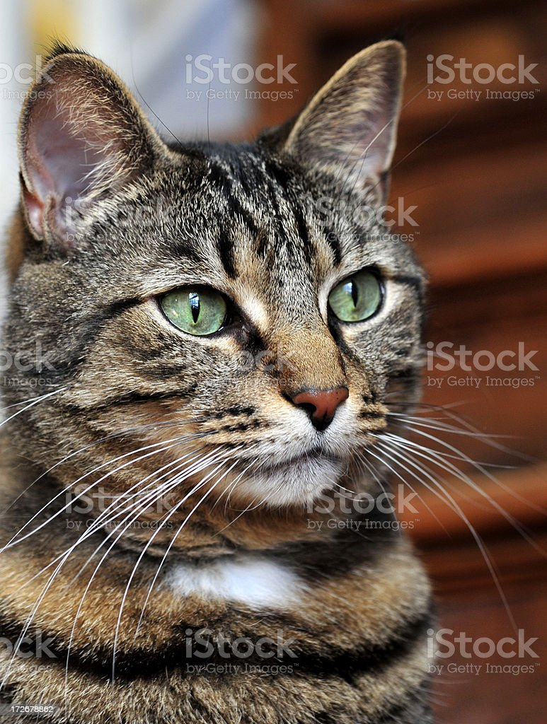 Tabby Dreamer royalty-free stock photo