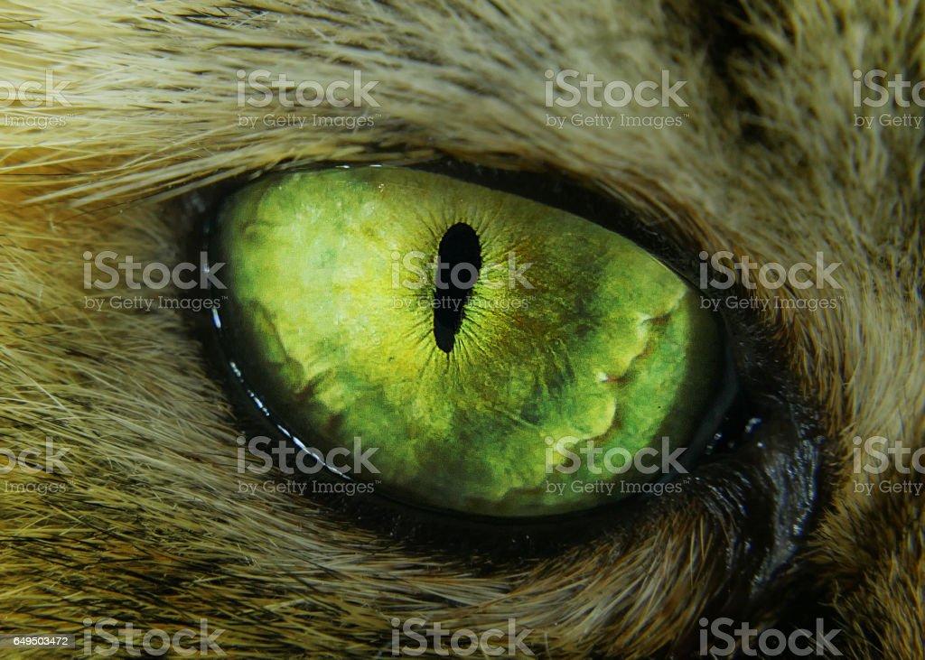 tabby evil cat macro green eye stock photo
