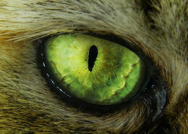 tabby evil cat macro green eye - foto stock