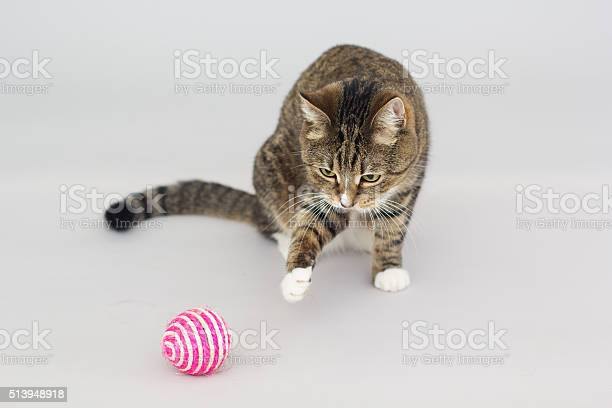 Tabby greeneyed cat playing with toy isolated on grey picture id513948918?b=1&k=6&m=513948918&s=612x612&h=ggmewtp mfwxlvu lpfwydpuvg2hl pnlpqapgcblvw=