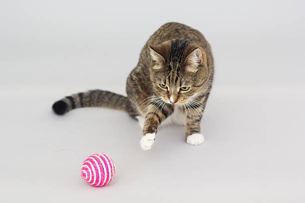 Tabby greeneyed cat playing with toy isolated on grey picture id513948918?b=1&k=6&m=513948918&s=612x612&w=0&h=vei8imgoifllc3r7kzh9qkshm4jnubywypfwer9w4ec=