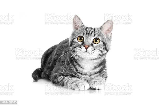 Tabby grey cat lying on white background picture id462488163?b=1&k=6&m=462488163&s=612x612&h=8nkl pxjc7mojegtujobiu ydqljfhvnr9zije9lle0=