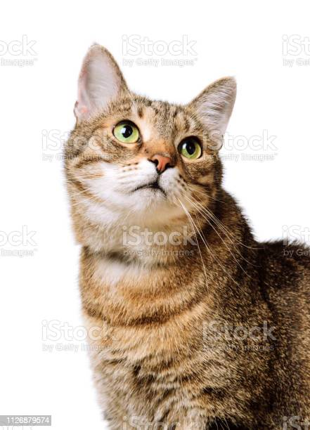 Tabby home adult cat looks up isolated pet animal picture id1126879574?b=1&k=6&m=1126879574&s=612x612&h=mii14pt7q7qbxi0nlwmts6oiovh0l58puez ar 3dby=