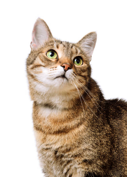 Tabby home adult cat looks up isolated pet animal picture id1126879574?b=1&k=6&m=1126879574&s=612x612&w=0&h=svdzgmkehuzby6nqjioatojm70zb2umrt2vgik9ludy=