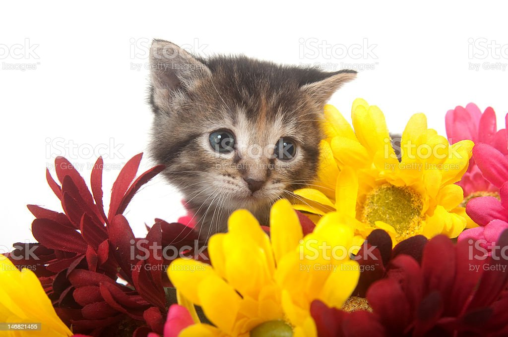 Tabby kitten and colorful flowers stock photo