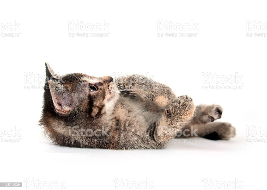Tabby kitten laying down on white background stock photo