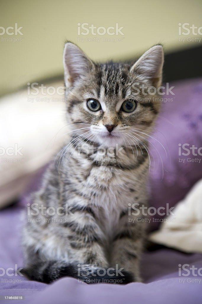 Tabby Kitten looking at camera stock photo
