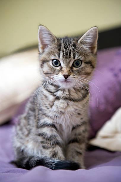 Tabby Kätzchen Blick in die Kamera – Foto