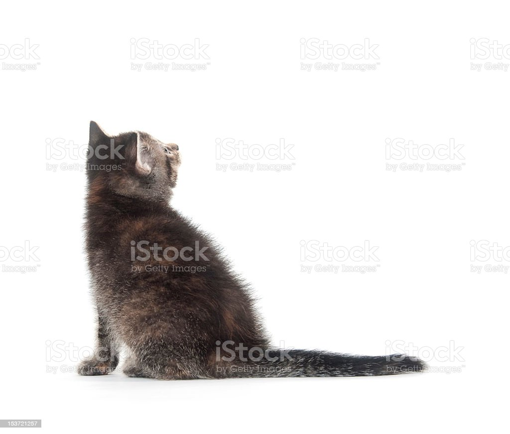 tabby kitten looking back stock photo