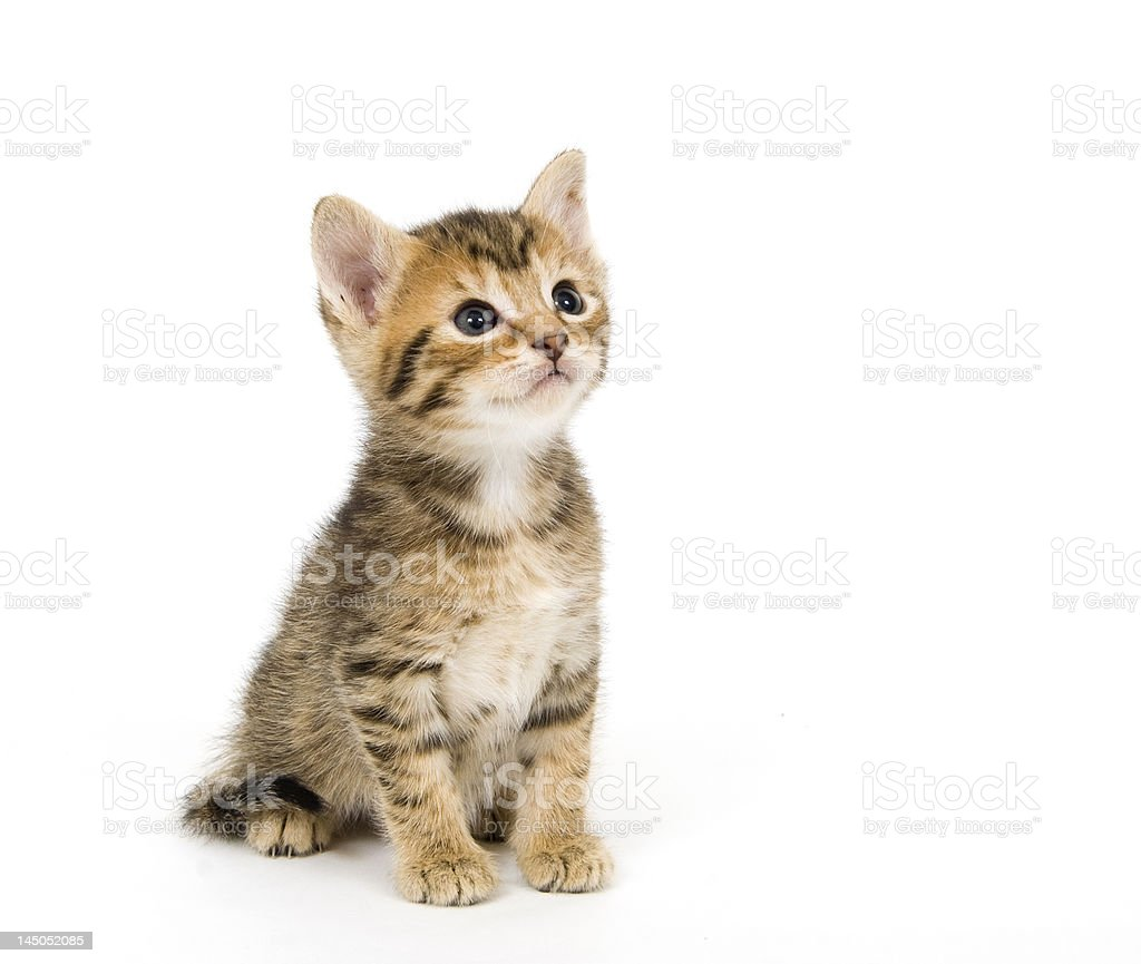 Tabby Kitten royalty-free stock photo