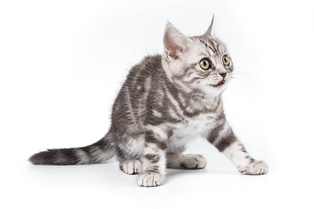 Tabby kitten picture id146001683?b=1&k=6&m=146001683&s=612x612&w=0&h=hqeogqqineakvnbw iafykbll2ecldczghbmk1l7whg=
