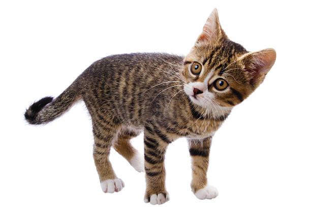 Tabby kitten picture id157618131?b=1&k=6&m=157618131&s=612x612&w=0&h= gbx9akcmn3bzj5oufpiu7x rgj5iivgld4fsfibunc=