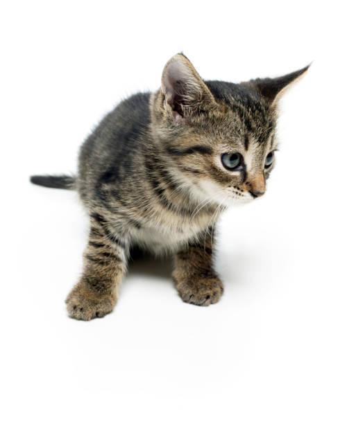 Tabby kitten portrait picture id1176259557?b=1&k=6&m=1176259557&s=612x612&w=0&h=vyw9tr8kqvloj1zpuni p2xopjmaylmmm5ikhy1y0dc=