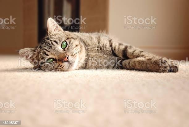 Tabby kitten relaxing on carpet picture id482462371?b=1&k=6&m=482462371&s=612x612&h=zizutmem 6luw84gacjok5pvqherna20ks4d6dbgfd4=