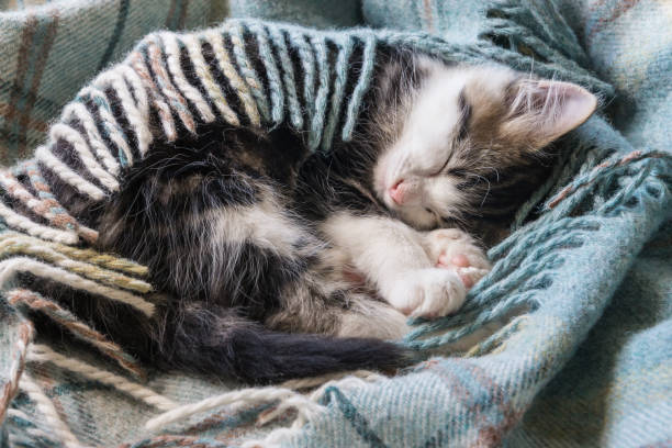 Tabby kitten sleeping wrapped in wool blanket picture id871106542?b=1&k=6&m=871106542&s=612x612&w=0&h=txkcwclsjpfeexdd8aghkh7nmwlhhldiipiy0slagvc=