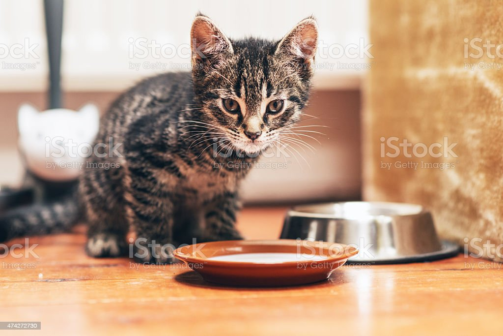 Tabby Kitten Standing Beside Plate with Milk stock photo