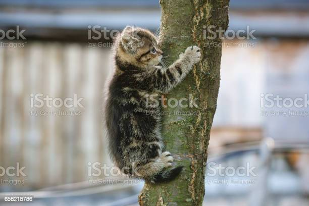 Tabby kitten trying to climb a tree picture id658218786?b=1&k=6&m=658218786&s=612x612&h=osdtglxrn9w ys6jp6dr041vrs2lf09wzwsgofuhcqm=