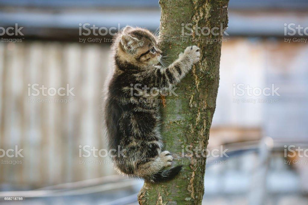 tabby kitten trying to climb a tree stock photo