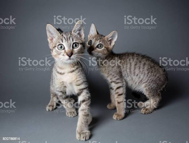 Tabby kittens the amanda collection picture id820786814?b=1&k=6&m=820786814&s=612x612&h=rzhhkixc1kjmhegpq84mhrw5ji0xvo ykyawp57jygk=