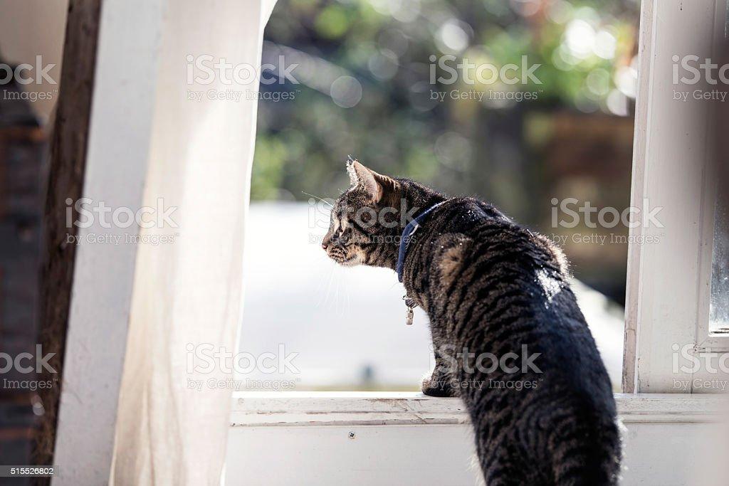 Tabby looking through open window. - Royalty-free Animal Stock Photo