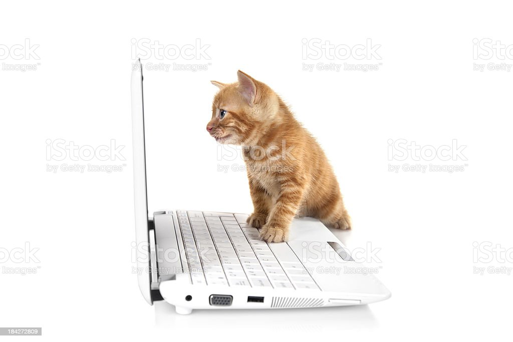 Tabby small kitten looking at the screen stock photo