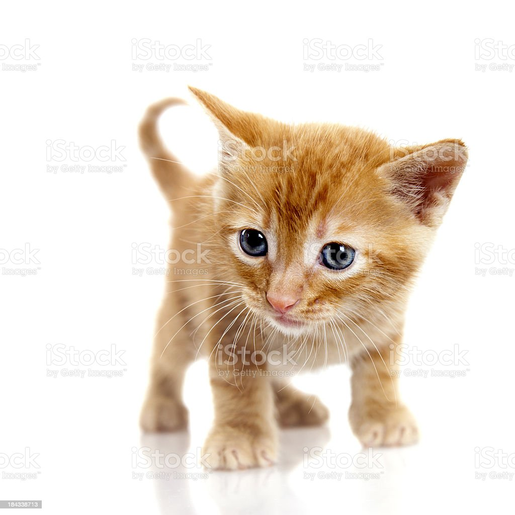 Tabby small kitten on white background stock photo