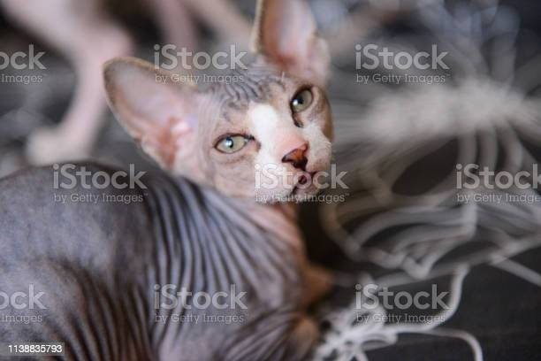 Tabby sphinx kitten bald cat small baby cat toddler picture id1138835793?b=1&k=6&m=1138835793&s=612x612&h=uu4e07vmgcmk759tvach1r77qov4acrqjzo9xq wkmy=