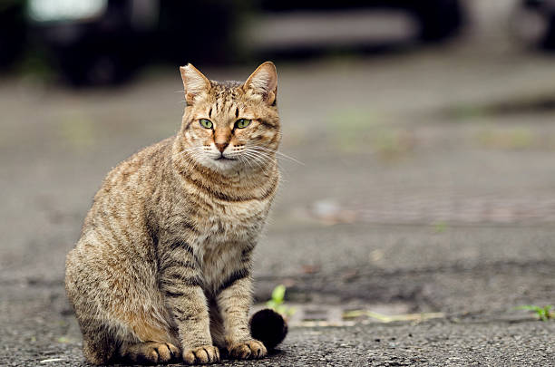 Tabby undomesticated cat picture id175234830?b=1&k=6&m=175234830&s=612x612&w=0&h=hokke9bbtfms1uliacxxk2p9ihpmylc g1ldnjazrt8=