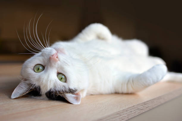 Tabby white cat with green eyes and pink nose lying upside down on back on wooden floor, looking at camera animal photography lying on back stock pictures, royalty-free photos & images