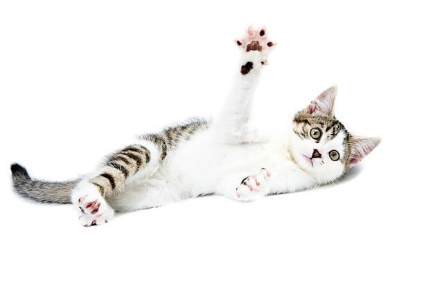 Tabby & White Kitten Playing stock photo