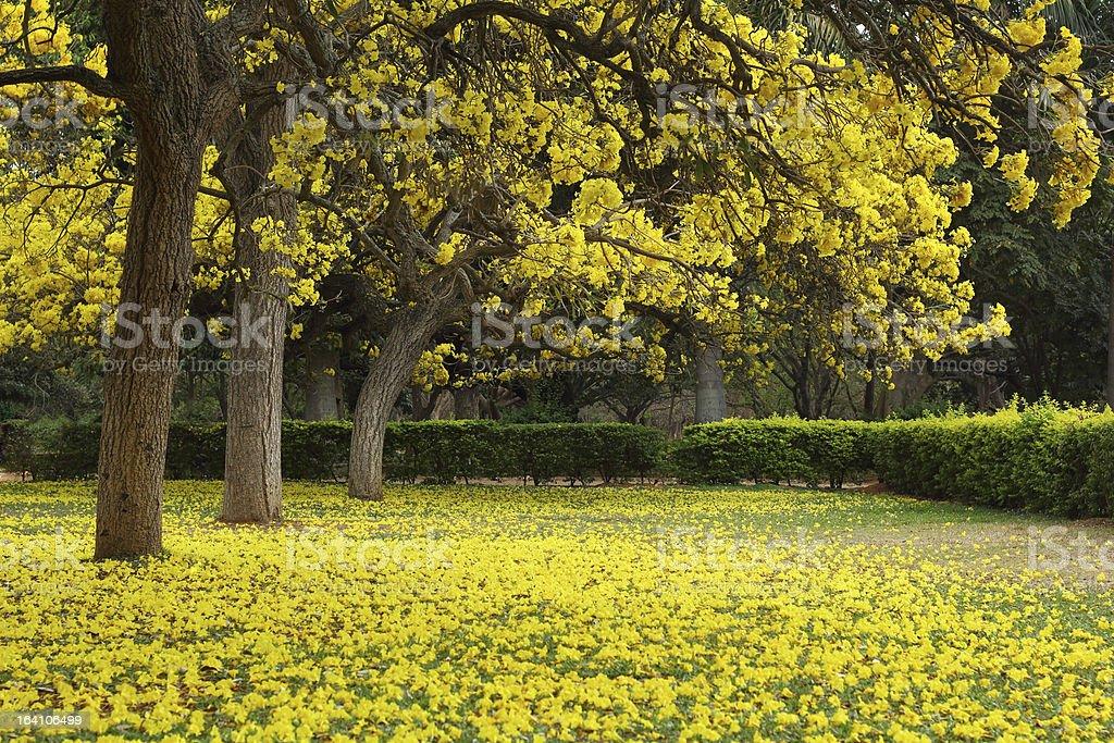 Tabebuia Argentea Trees in Full Blossom royalty-free stock photo