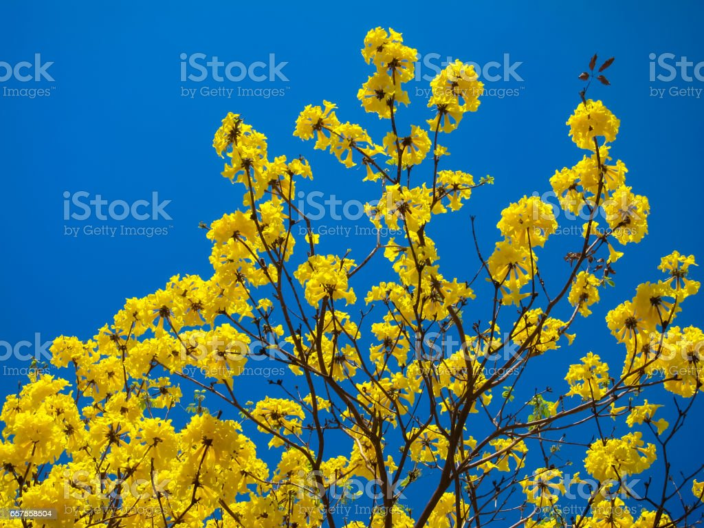 Tabebuia Chrysantha Or Yellow Flower Tree With Blue Sky Stock Photo